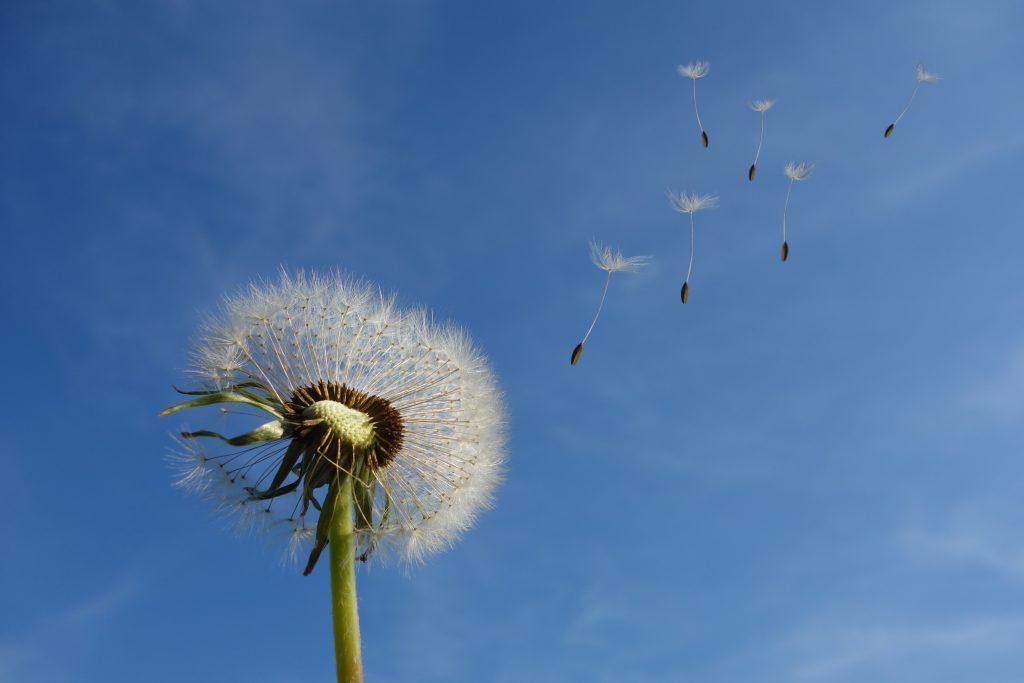 Mudah seperti dandelion yang terhembus angin
